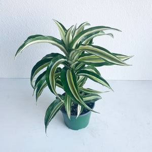 "Dracaena Dragontree 'Malayka' in 6"" Pot. **LOCAL PICKUP OR DELIVERY ONLY**"