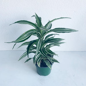 "Dracaena Dragontree 'Kanzi' in 6"" Nursery Pot **LOCAL PICKUP OR DELIVERY ONLY**"