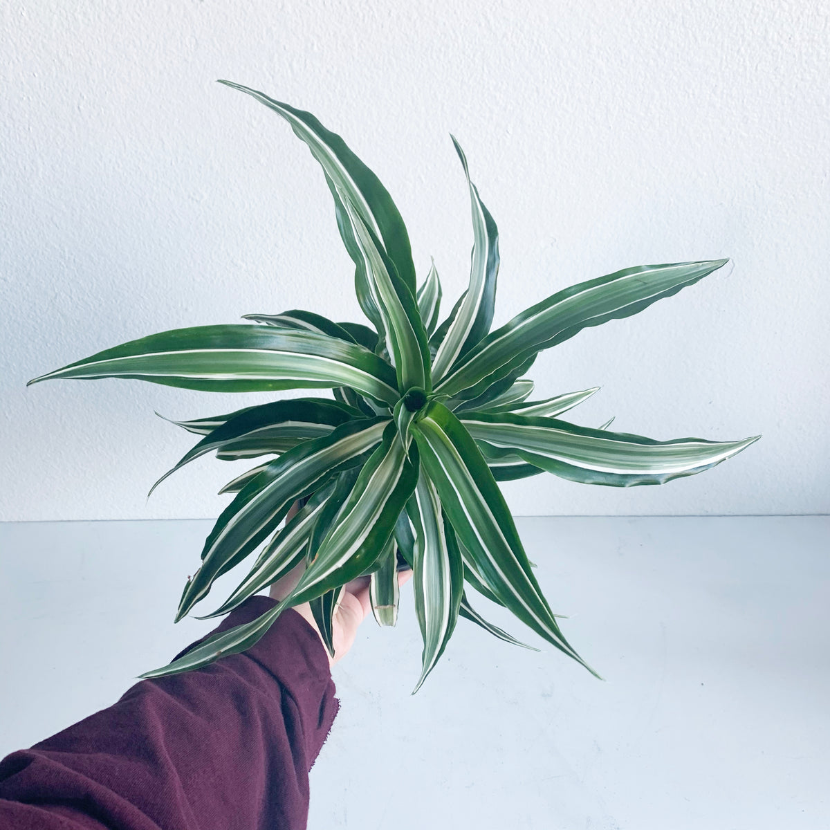 "6"" Dracaena Dragontree 'Kanzi'"