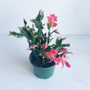 "Schlumbergera 'Christmas Cactus' in a 6"" Nursery Pot **LOCAL PICKUP OR DELIVERY ONLY**"