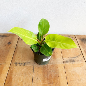 """Moonlight"" Philodendron in 6"" Pot **LOCAL PICKUP OR DELIVERY ONLY**"