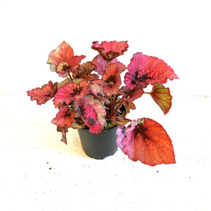 """Festive Red"" Begonia Rex in 4"" Pot LOCAL Delivery or P/U Only"
