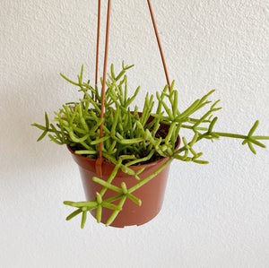"6"" Rhipsalis - ""Drunkard's Dream"""