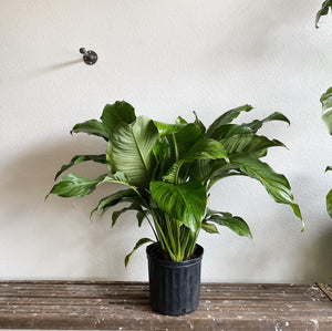 "Peace Lily in 10"" Pot LOCAL delivery only"