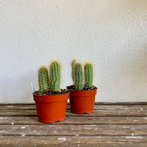 "Torchiere Cacti in 4"" Pot. LOCAL delivery or pick-up only"