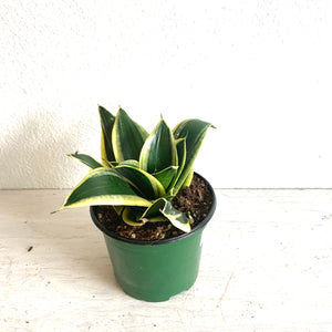 "Laurentii Rosette Snake Plant in 6"" Pot LOCAL pick-up or delivery only"