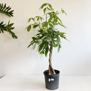 "Pachira ""Money Tree"" in 10"" Pot. LOCAL delivery or pick-up only"