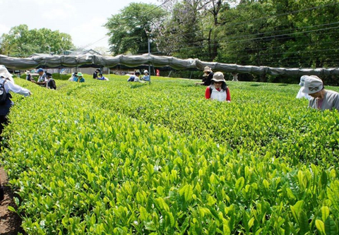 Matcha Tea Farm