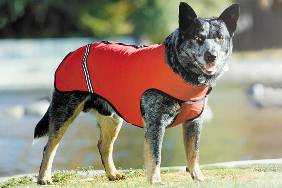 third iteration of overcoat on a heeler.