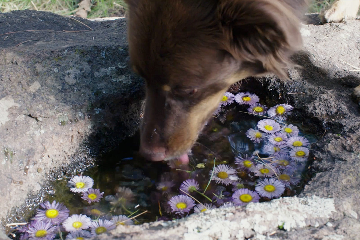 Sol drinks out of a puddle filled with purple daisies.