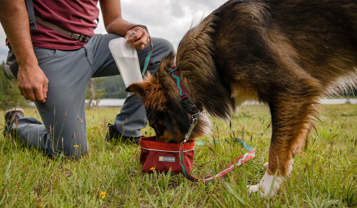 Dog in colorado river flat out leash and matching collar drinks out of quencher packable dog bowl in meadow on hike.