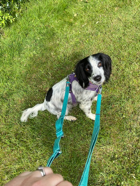 Dog in front range harness with double ended leash attached