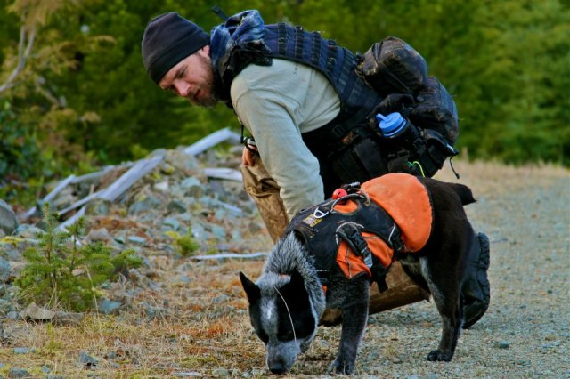 Dog in web master harness and ruffwear jacket sniffs ground working while human looks on.