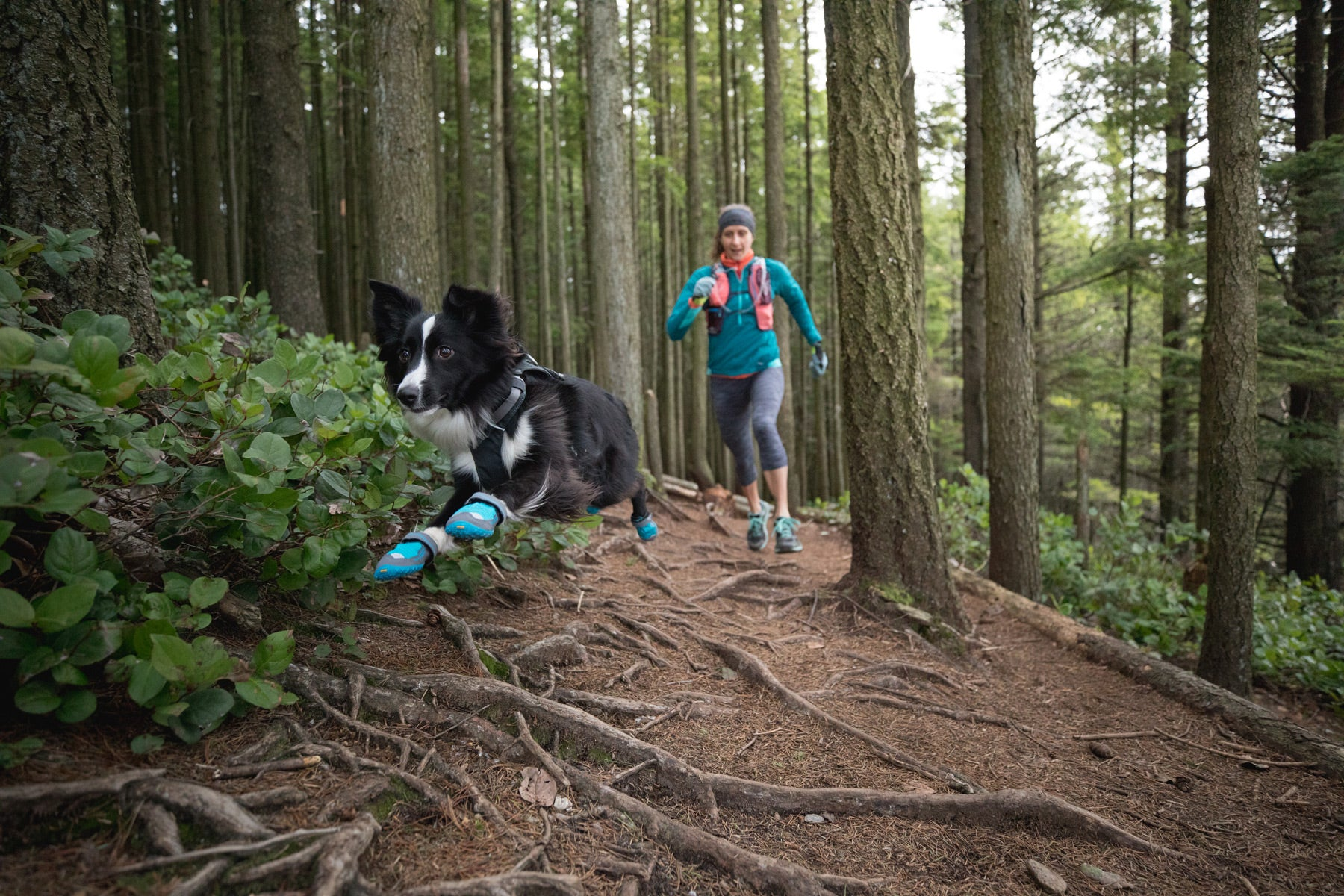 PD wearing grip trex dog boots leaps over roots on a forested trail run.
