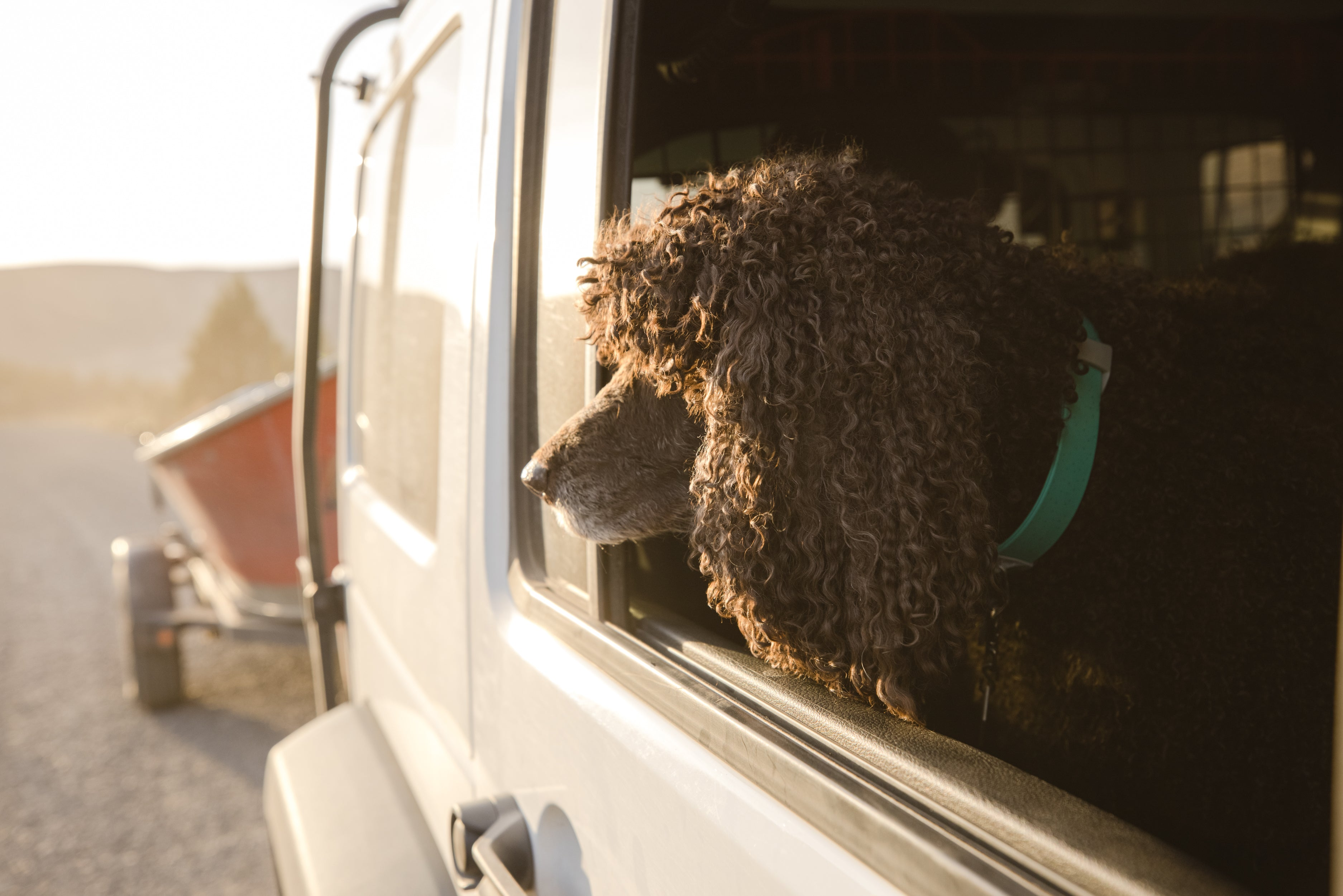Poodle in confluence waterproof dog collar looks out window of car towing boat on trailer.