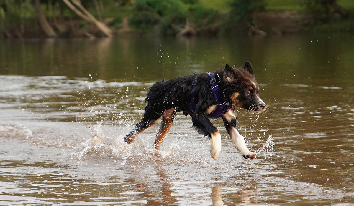 Maria's puppy in Front Range harness running through the water.