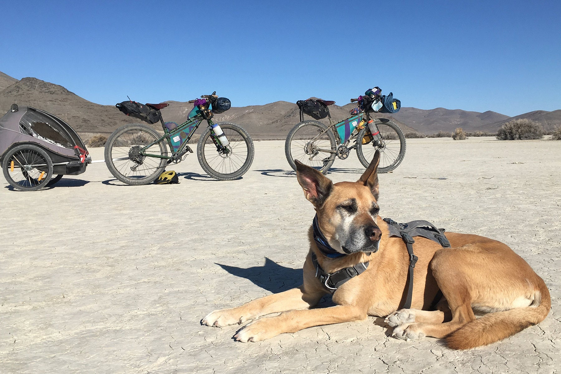 Dog star taking a break on a desert playa with mountain bikes in the background