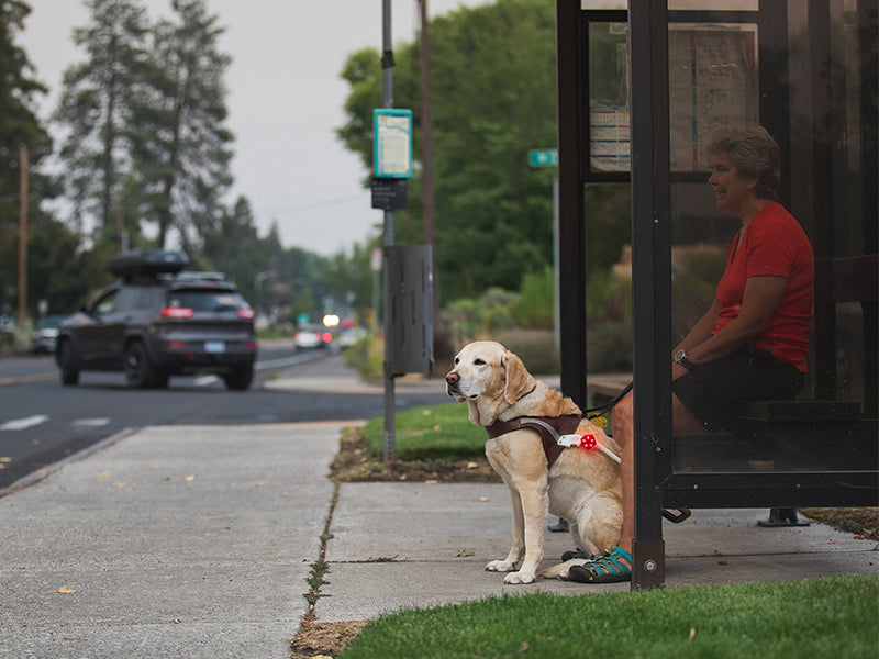 Guide dog in harnes with Audible beacon sit at bus stop in front of human handler..