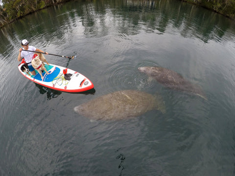 Maria & Dogs paddleboarding with Manatees.