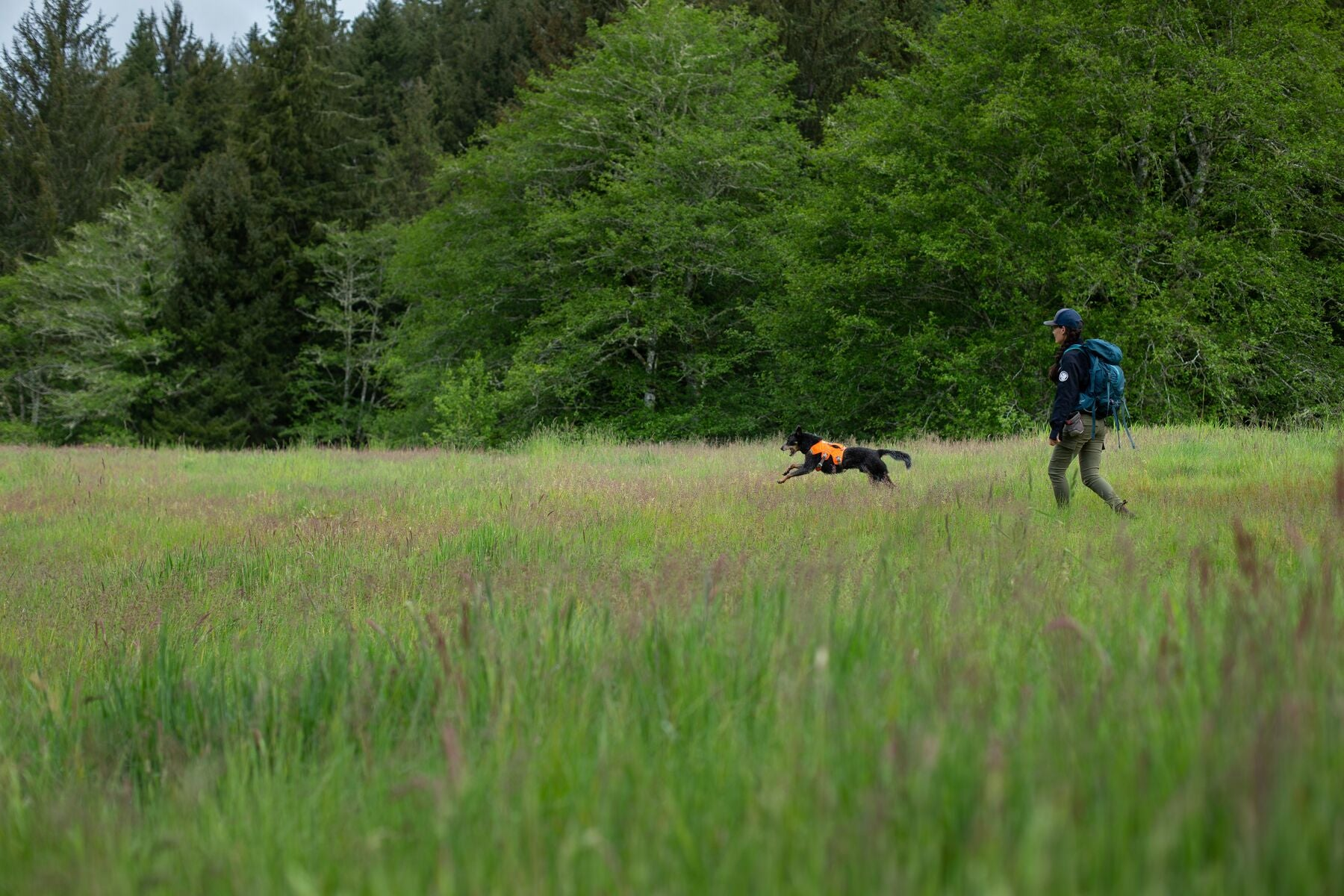 Handler and dog with high-vis orange harness in a grassy field