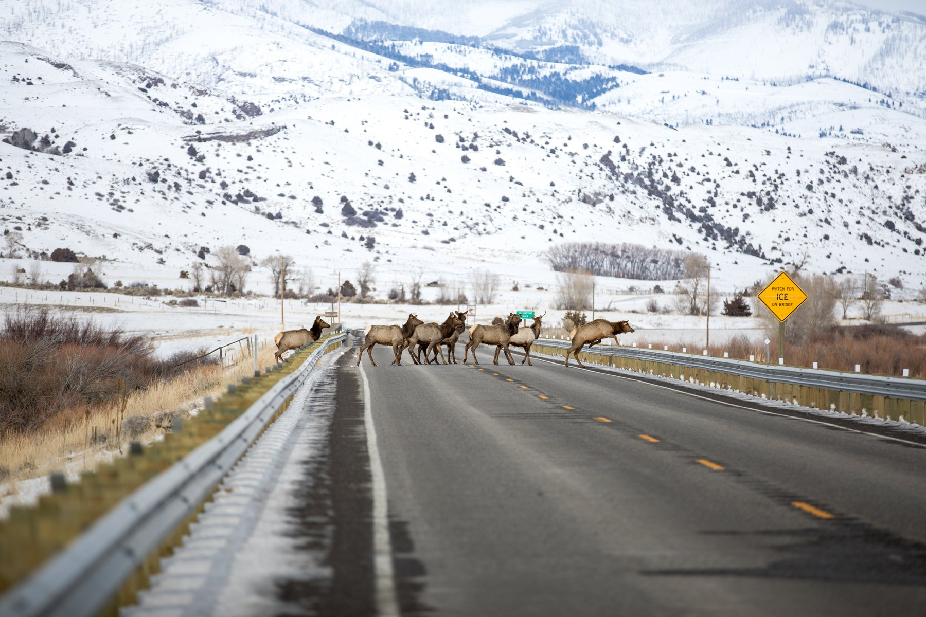Elk herd crossing the road in front of snowy mountains in Paradise Valley.