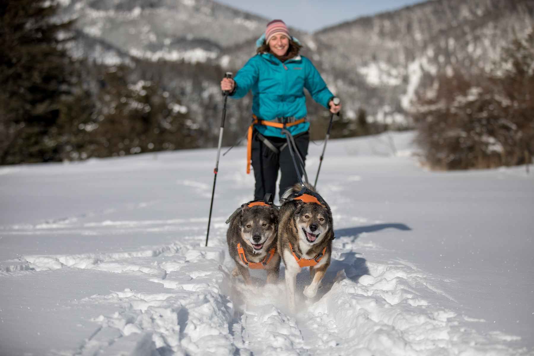 Two happy dogs towing Darcie on the Omnijore system through the snowy trails.