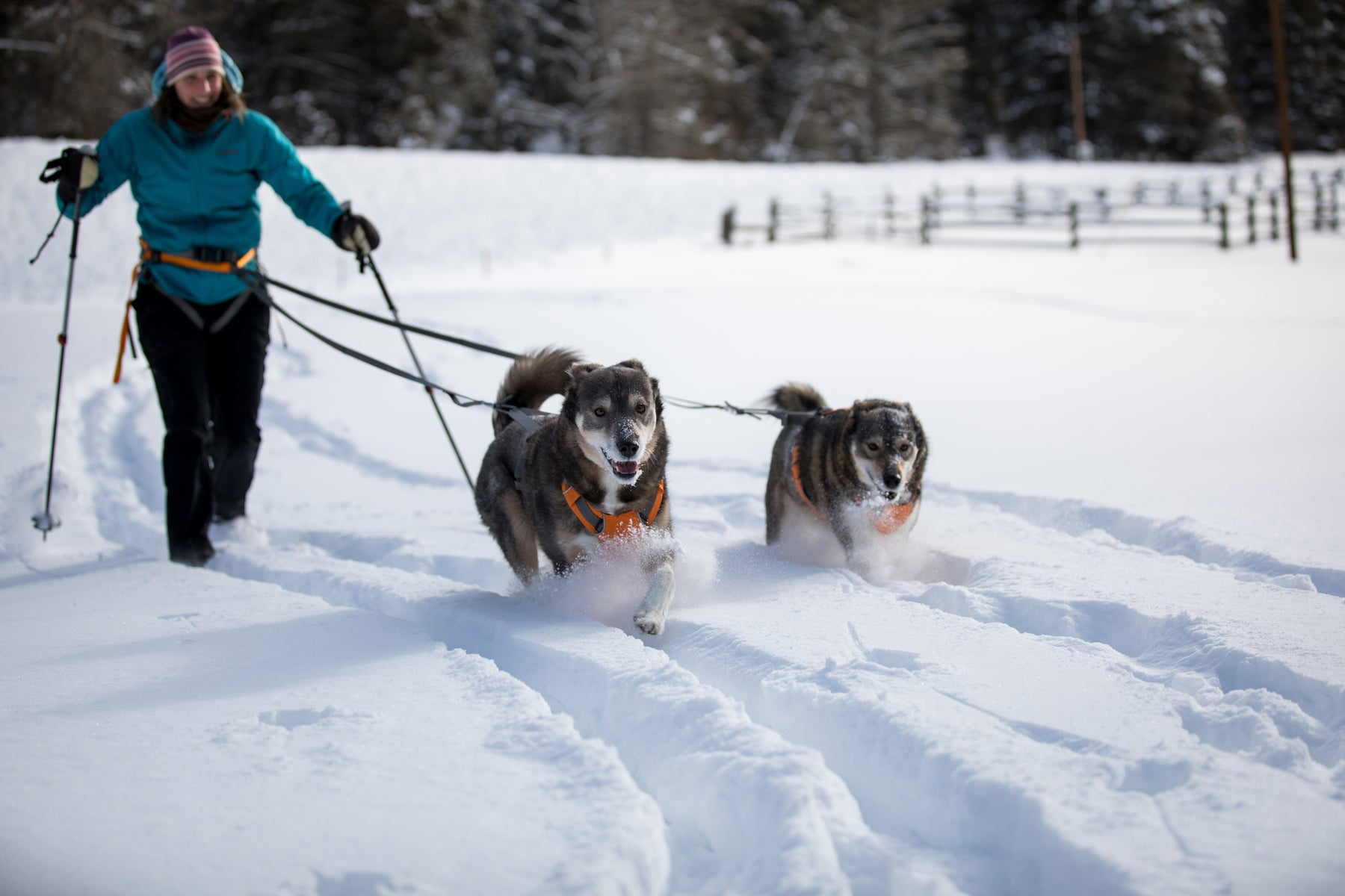 Two dogs run ahead of Darcie towing her on the Omnijore Dog SkiJoring system in the snow.