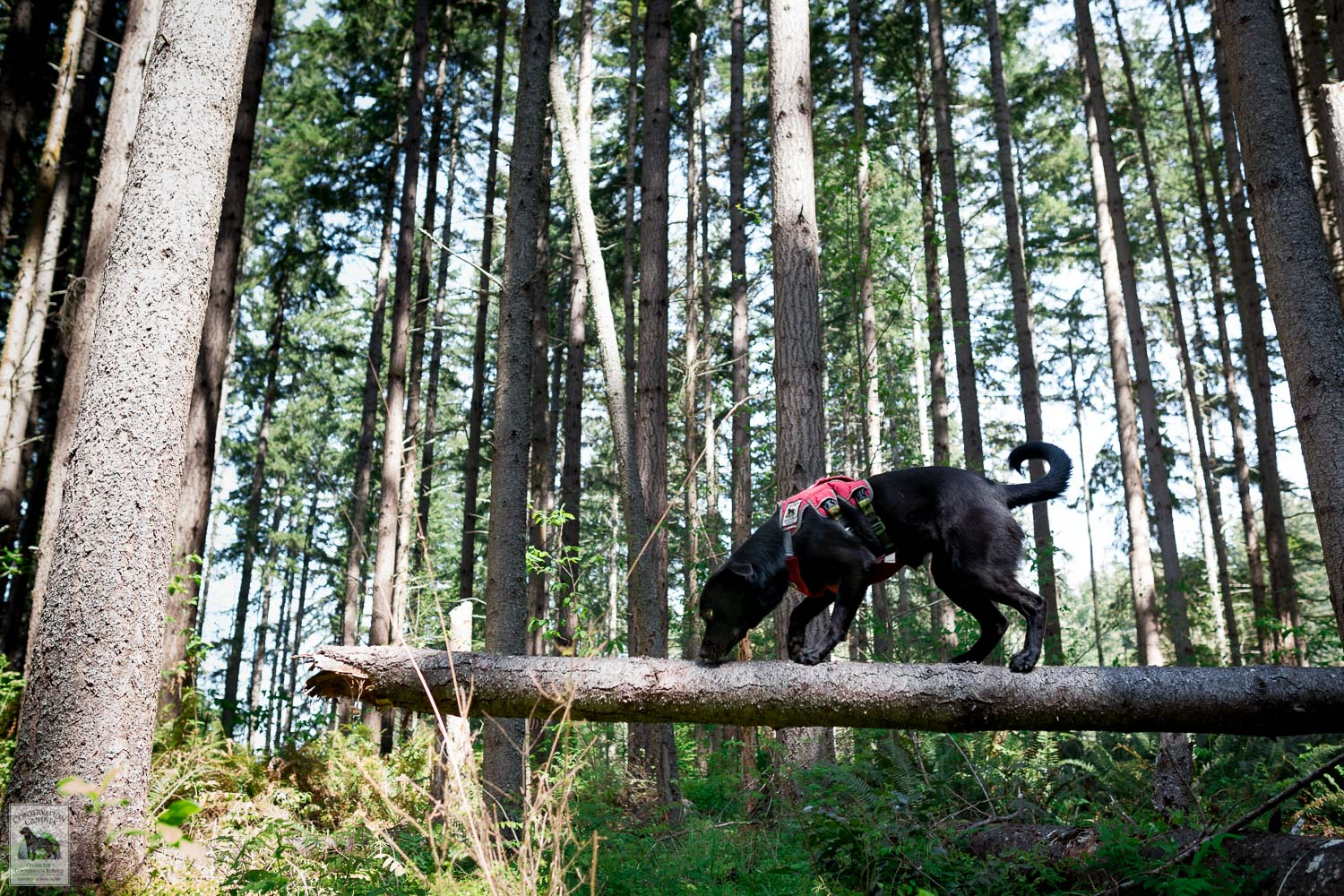 Detection Dog Winnie works to follow a scent along a down tree.