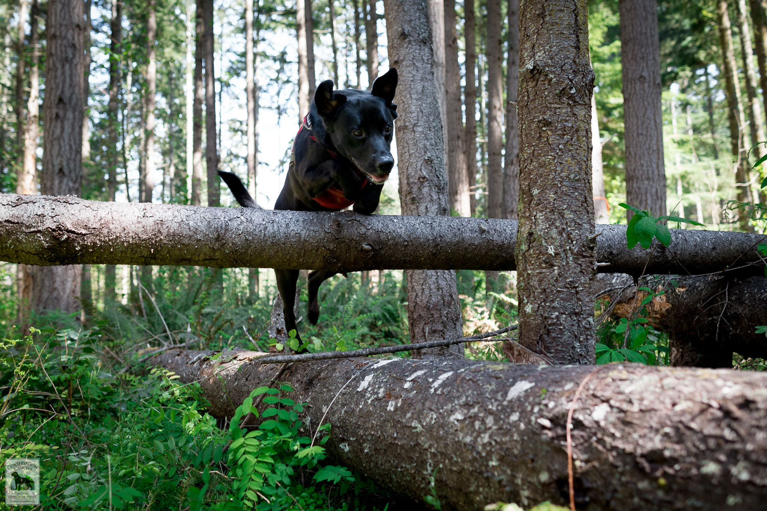 Detection Dog Winnie leaps over a down tree.