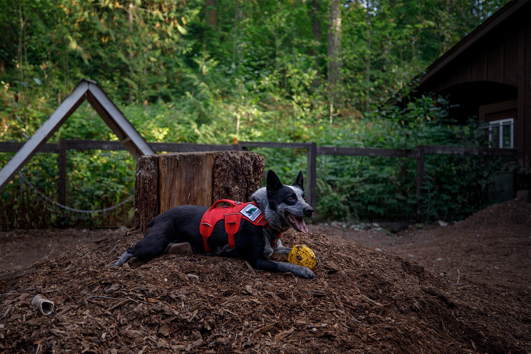 Working dog in web master harness lays in the dirt with gnawt-a-rock.