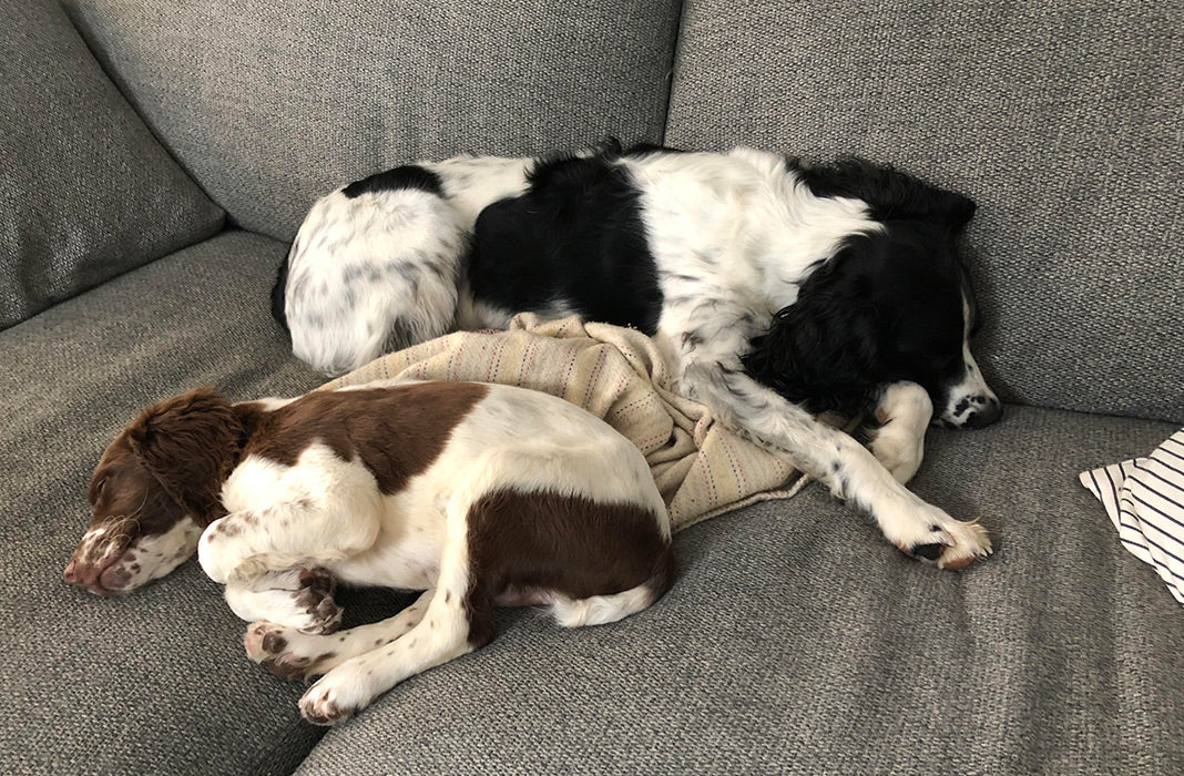 A very small Wendell snuggled up to big dog brother on the couch.