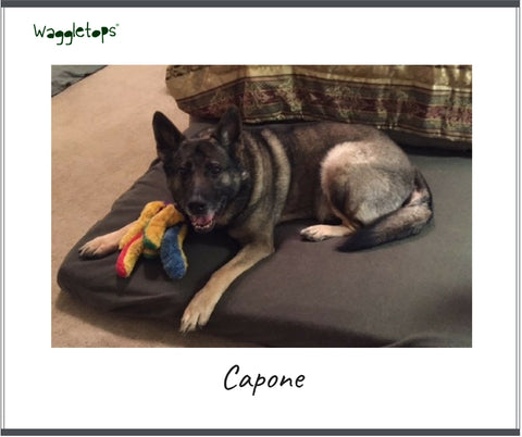 Capone, a German Shepherd on a olive green Waggletop