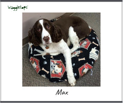 Max, a brown and white springer spaniel dog, looking up a the camera while sitting on his black fleece Waggletops with red dog houses.