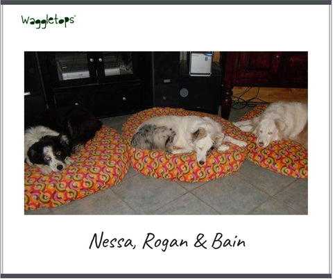 Nessa, Rogan and Bain, three big, fluffy australian shepherd dogs asleep on multi-colored orange fleece Waggletop dog beds.