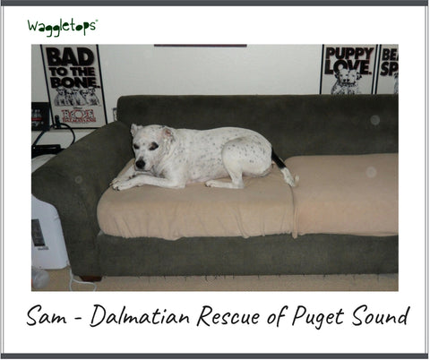 Sam, a Dalmatian mix, white and black dog, asleep on a green couch with cushions covered in tan fleece Waggletops.
