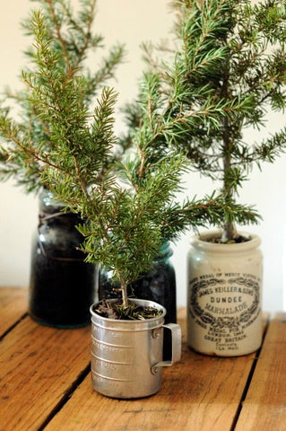 Winter modern rustic farmhouse decor potted pine trees