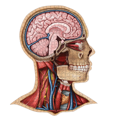 Human Head Anatomy Jigsaw Puzzle