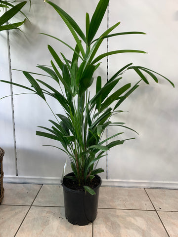 Lady Palm / Rhapis Exelsa (Local Delivery Only)