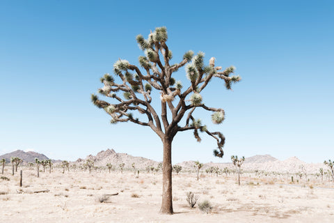 Tangled, california, united states, desert, joshua tree, beautiful, photo, print, prints, photography, design, interior, framing, styling, phresh
