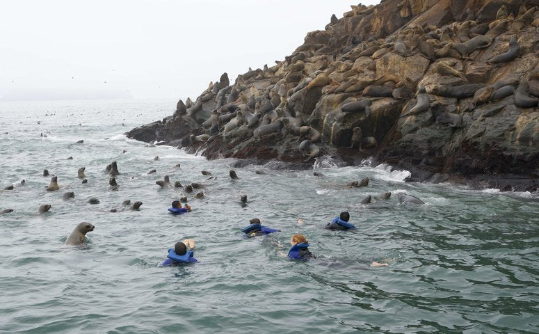 People swimming with many sea lions next to Palomino islands
