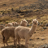 Alpacas hiking in red valley