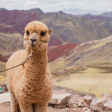 Pepe the Alpaca at the Rainbow Mountain Alternative Route Cusco
