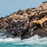 Sea lions in Palomino Island