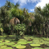 Victoria Regia giant water lilly