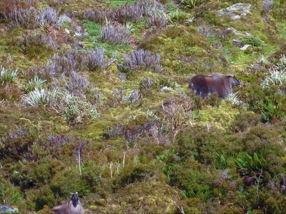 bull tahr in the scrub