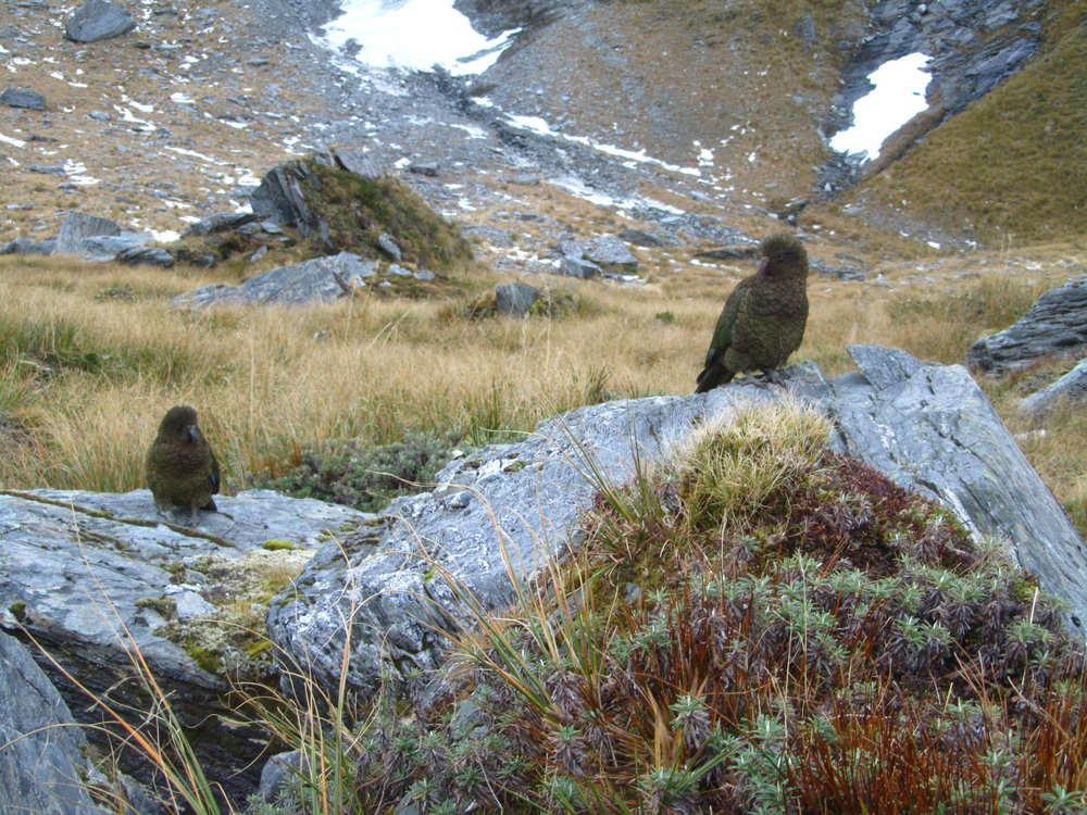 New Zealand mountain parrot, the kea