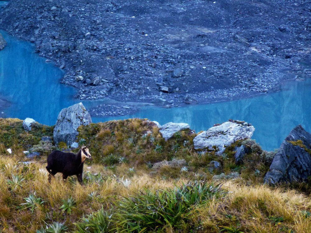 Chamois beside the glacial lake