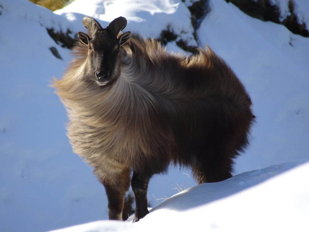 Young bull tahr in the snow in new zealand