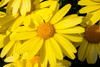 Benefits of Arnica Oil