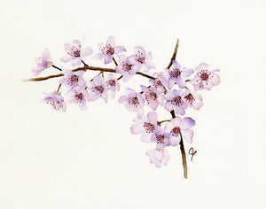 Cherry Blossoms Watercolour painting by Carol White.